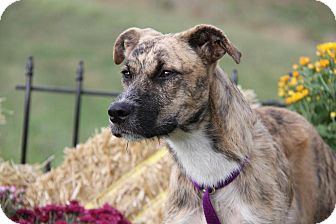 Whippet/Terrier (Unknown Type, Medium) Mix Dog for adoption in Orland Park, Illinois - Serena