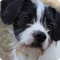 Terrier (Unknown Type, Small) Mix Dog for adoption in Colorado Springs, Colorado - Poindexter