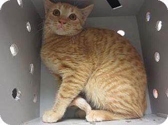 Domestic Shorthair Cat for adoption in Wildomar, California - 317639