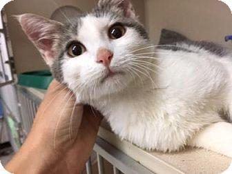 Domestic Shorthair Kitten for adoption in Fort Collins, Colorado - Dora