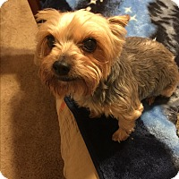 Yorkie, Yorkshire Terrier/Yorkie, Yorkshire Terrier Mix Dog for adoption in Boyd, Texas - Java