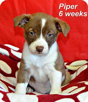 Labrador Retriever/Border Collie Mix Puppy for adoption in Yreka, California - Piper
