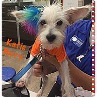 Adopt A Pet :: Katy Perry - Tempe, AZ