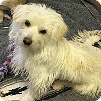 Adopt A Pet :: 'SNOW WHITE' - Agoura Hills, CA