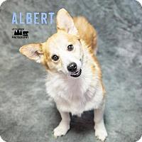 Adopt A Pet :: Albert - Lee's Summit, MO