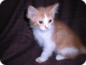 "Domestic Longhair Kitten for adoption in New Castle, Pennsylvania - "" Jack """
