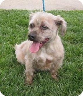 Dachshund/Terrier (Unknown Type, Medium) Mix Dog for adoption in Santa Cruz, California - Mickey