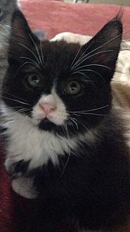 Domestic Mediumhair Kitten for adoption in Brooklyn, New York - Lil Boo