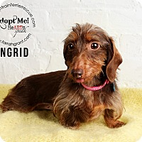 Adopt A Pet :: Ingrid-pending adoption - Omaha, NE