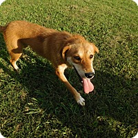 Adopt A Pet :: Lil Bit - Lebanon, CT