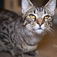 Domestic Shorthair Cat for adoption in Tanner, Alabama - Waffles