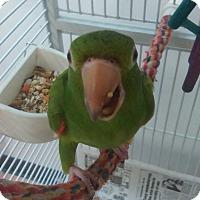 Adopt A Pet :: Popeye - Villa Park, IL