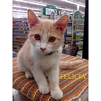 Adopt A Pet :: Felicia - Warren, OH