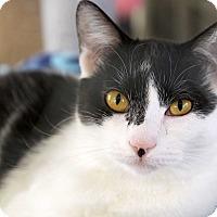 Adopt A Pet :: Coco - St Louis, MO