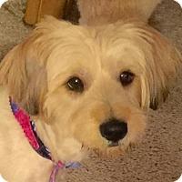 Adopt A Pet :: Bridgette - McKinney, TX