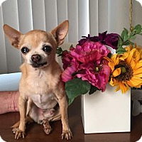 Adopt A Pet :: Lil Guy - Costa Mesa, CA