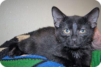 Domestic Shorthair Kitten for adoption in Wilmington, Ohio - Hansen