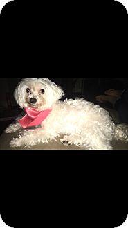 Maltese Dog for adoption in Baton Rouge, Louisiana - Arabella