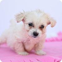 Adopt A Pet :: Cashew - Auburn, CA