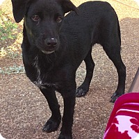 Labrador Retriever/Golden Retriever Mix Puppy for adoption in knoxville, Tennessee - OCTAVIA