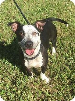 Corgi/Pit Bull Terrier Mix Dog for adoption in Oviedo, Florida - Pixie