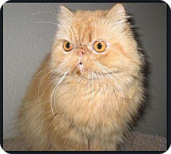 Persian Cat for adoption in Gilbert, Arizona - Sunny Deelight