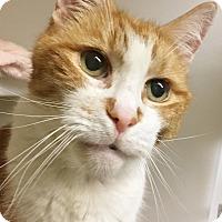Adopt A Pet :: Georgie Porgie - Salisbury, MA