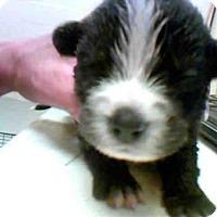 Standard Schnauzer Mix Dog for adoption in Conroe, Texas - BOSTON