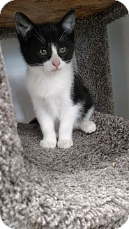 Domestic Shorthair Kitten for adoption in Chaska, Minnesota - Frost