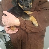 Terrier (Unknown Type, Small) Mix Puppy for adoption in Walthill, Nebraska - Skipper