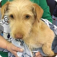 Terrier (Unknown Type, Small) Mix Puppy for adoption in Fresno CA, California - Robinson