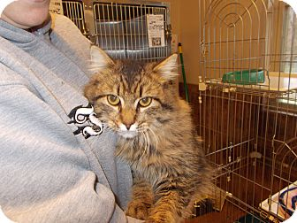 Maine Coon Cat for adoption in Heber Springs, Arkansas - Fritz