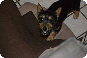 Yorkie, Yorkshire Terrier/Chihuahua Mix Puppy for adoption in San Diego, California - Bonnie