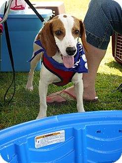 Beagle/Hound (Unknown Type) Mix Dog for adoption in Baton Rouge, Louisiana - Johnny