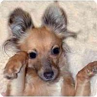 Adopt A Pet :: LuLu - New York, NY