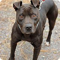Adopt A Pet :: Caesar - Tinton Falls, NJ