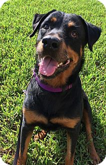 Rottweiler rescue central florida
