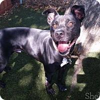 Adopt A Pet :: ROSCO! - Antioch, CA