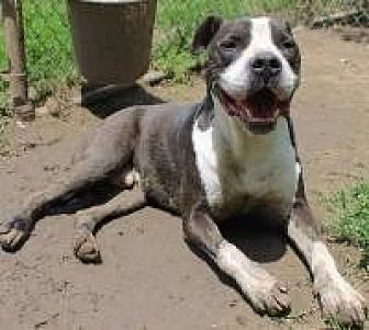Pit Bull Terrier Dog for adoption in Memphis, Tennessee - Loco