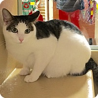 Domestic Shorthair Cat for adoption in Statesville, North Carolina - Bethany