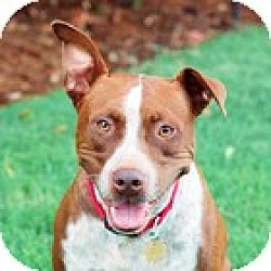 Photo 2 - Cattle Dog/Pit Bull Terrier Mix Dog for adoption in Fremont, California - Rusty D2830