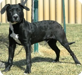 Pit Bull Terrier Mix Dog for adoption in Columbus, Nebraska - Bobby