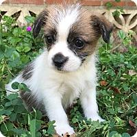 Adopt A Pet :: Benny - Van Nuys, CA