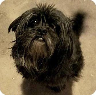Shih Tzu Mix Dog for adoption in San Tan Valley, Arizona - Dion
