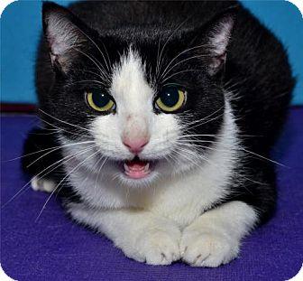 Domestic Shorthair Cat for adoption in Lenexa, Kansas - Heidi