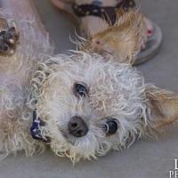 Adopt A Pet :: LITTLE JOHN YOUNG AKA MAX - Chandler, AZ
