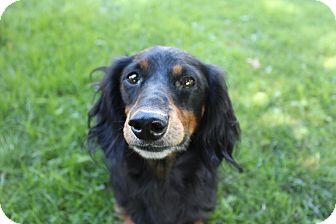 Dachshund Dog for adoption in Marcellus, Michigan - Bogie-Adoption Pending