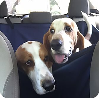 Basset Hound Dog for adoption in Houston, Texas - Ollie & Ozzie