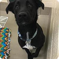 Adopt A Pet :: Trevor** - Duluth, MN