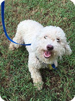 Bichon Frise Dog for adoption in McKinney, Texas - Messina